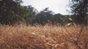 Sausa žolė